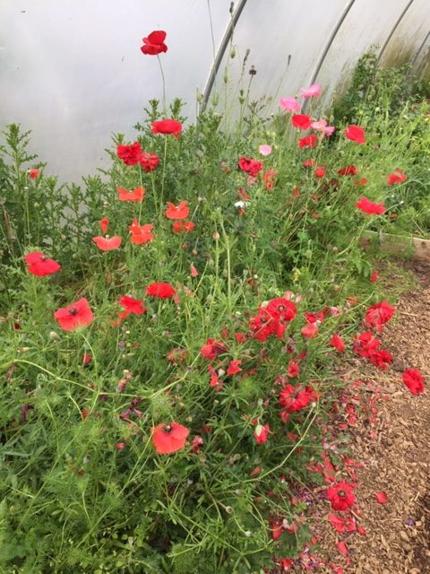 Poppies growing in a poly-tunnel at Muddy Wellies Farm, Smeeth