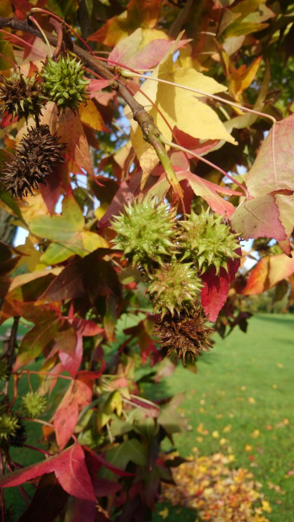 Horsechestnut on a tree